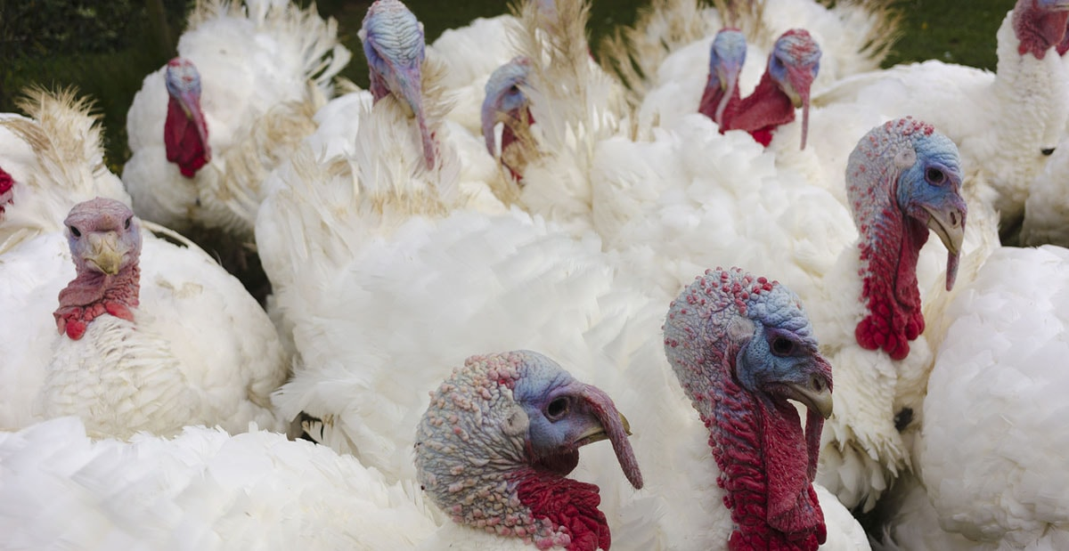 Focolaio di aviaria, scattano le misure di prevenzione in tutta la regione