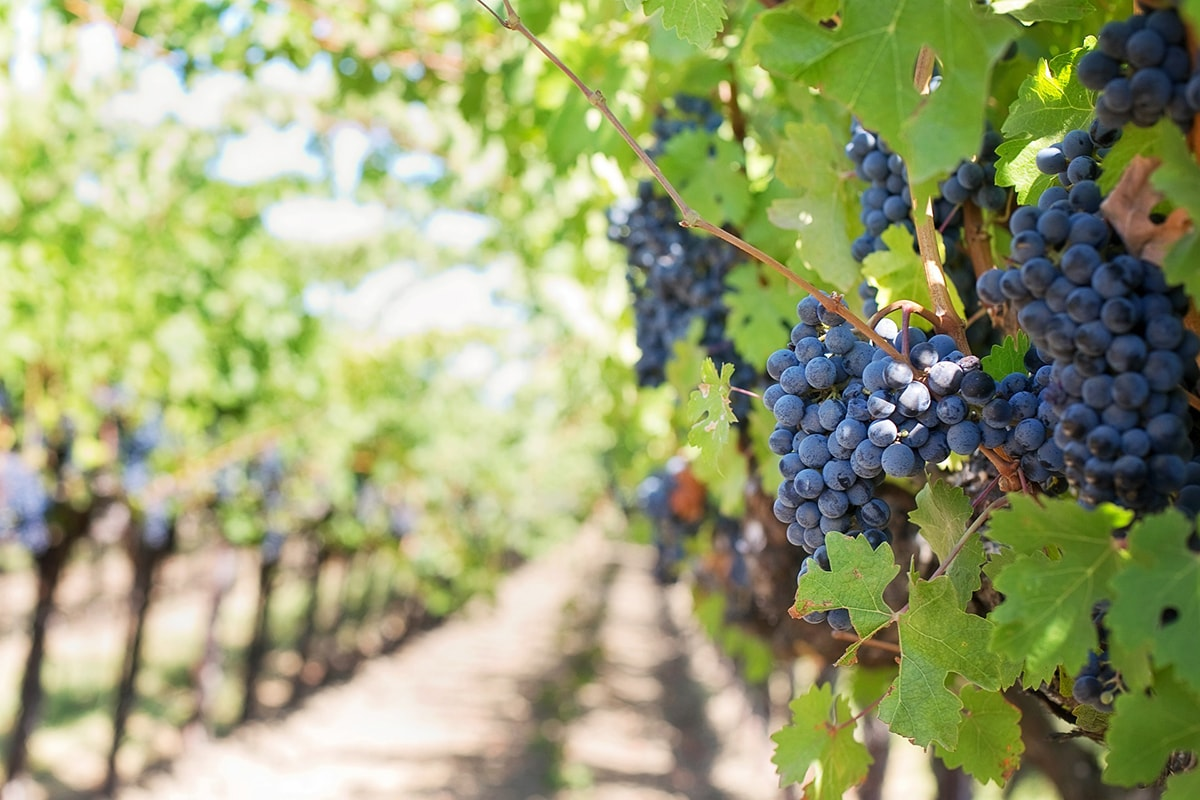 A Rimini produzione del vino dimezzata in dieci anni