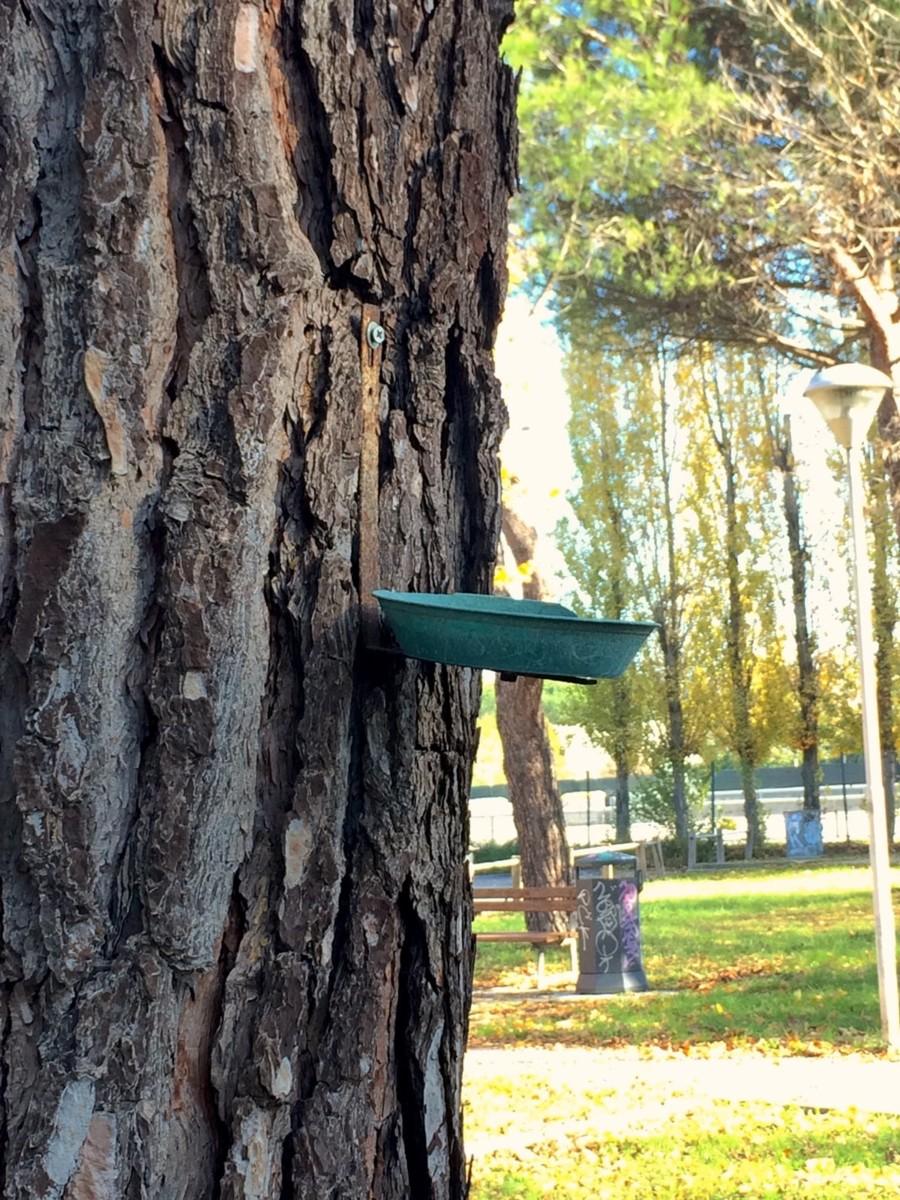 Il pino mendicante (suo malgrado)