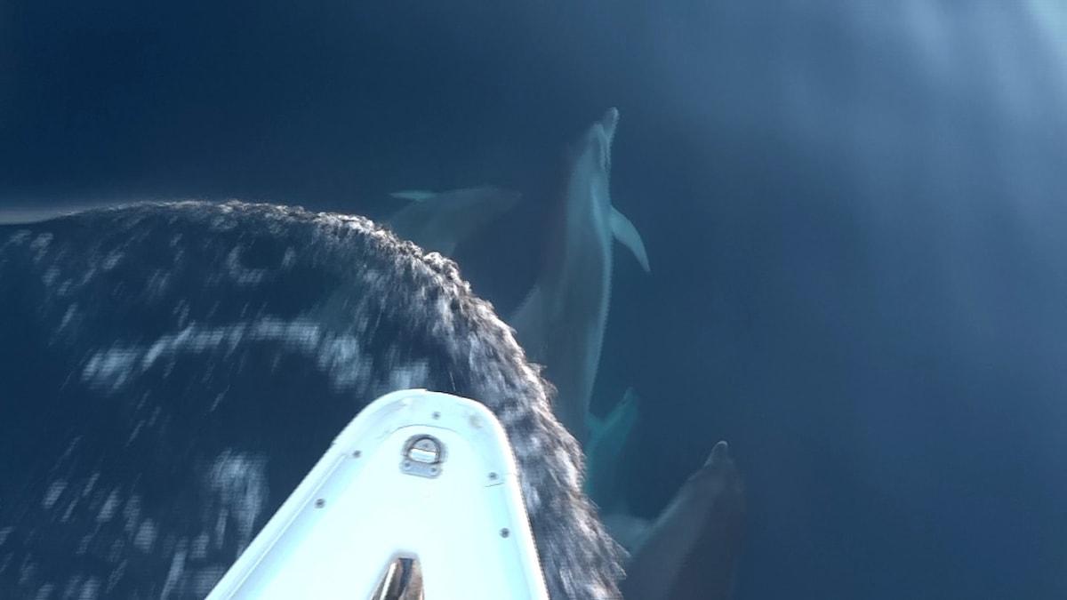 Torna l'incubo della epidemia di morbillo che uccide i delfini, ecco la situazione in Adriatico