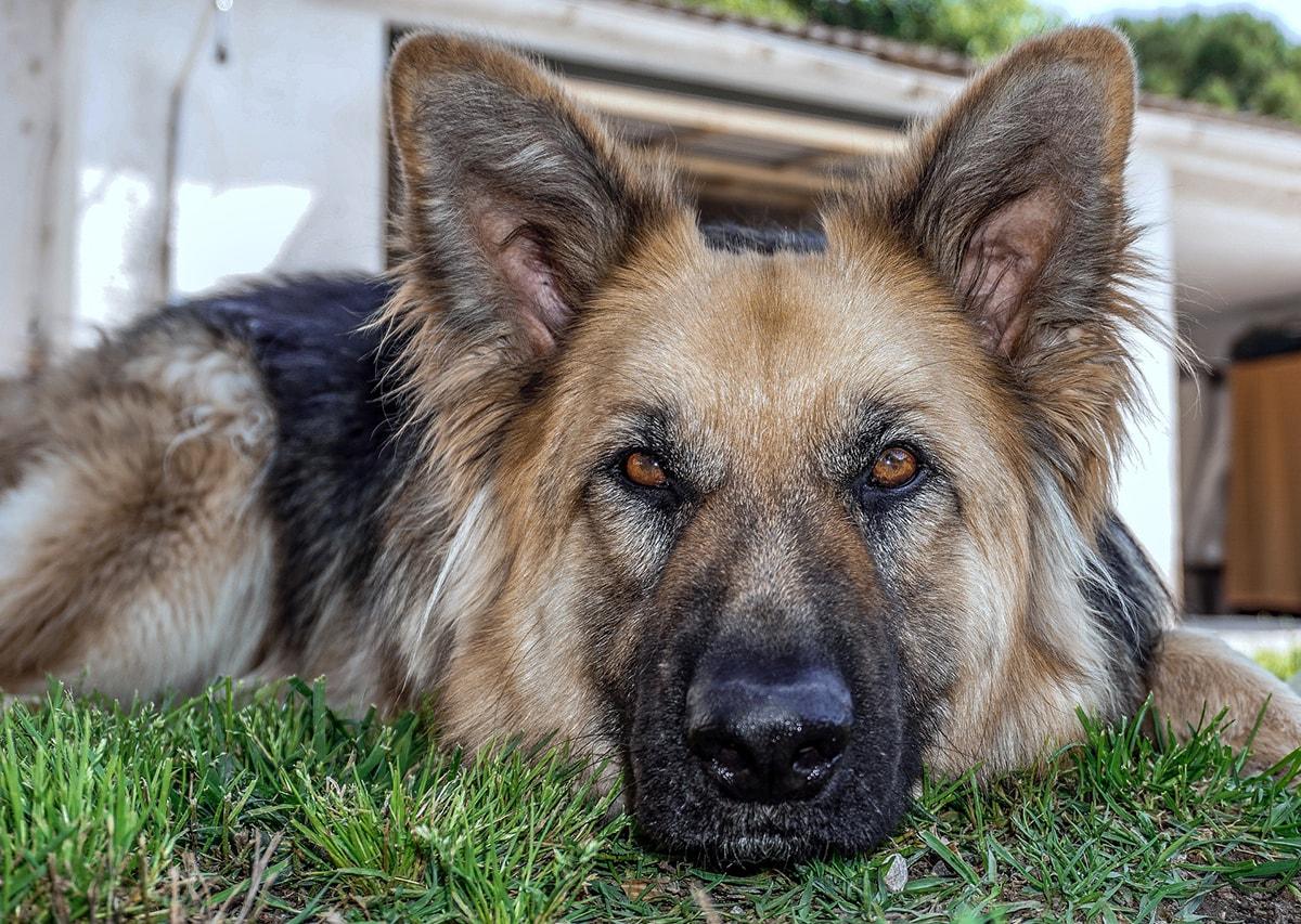 """Per i """"cani poliziotto"""" il Comune di Rimini si affida all'allevamento della Decima Mas"""