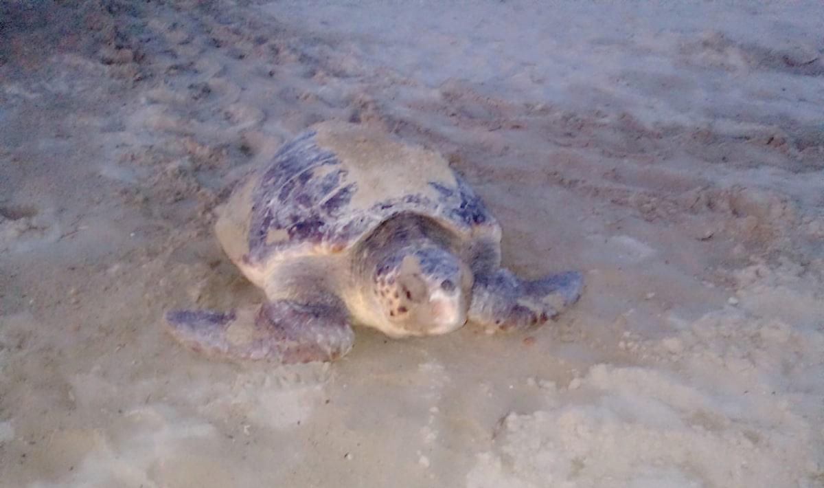 """L'eccezionale arrivo della tartaruga Caretta: il nido di """"Big Luciana"""" sulla spiaggia di Baia Flaminia"""