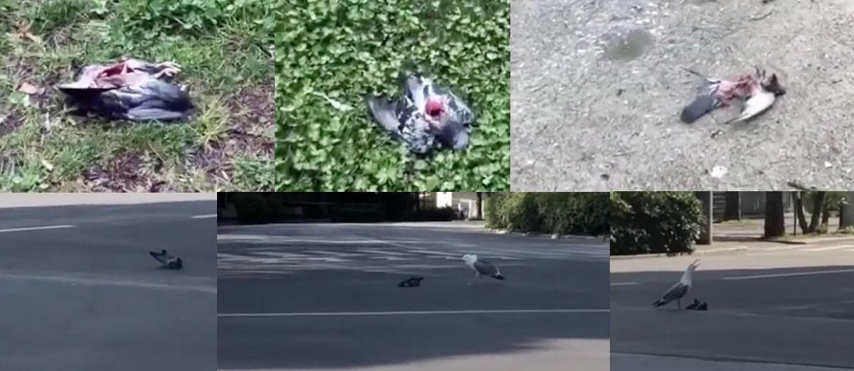 Anche i gabbiani sono alla fame e… scene da brividi a Marina centro (video)