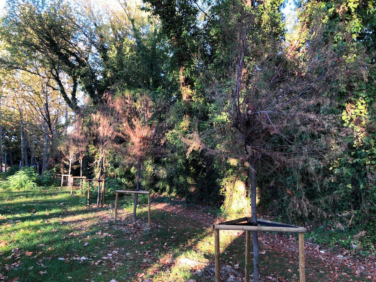 """Sono secchi molti degli alberi che hanno """"rimpiazzato"""" quelli abbattuti causa Psbo"""